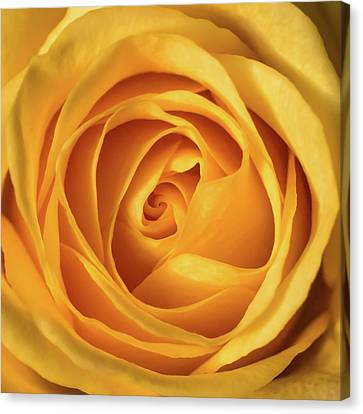Canvas Print featuring the photograph Mellow Yellow Rose Square by Terry DeLuco