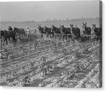 Men And Mules Cultivating Cotton Canvas Print by Everett