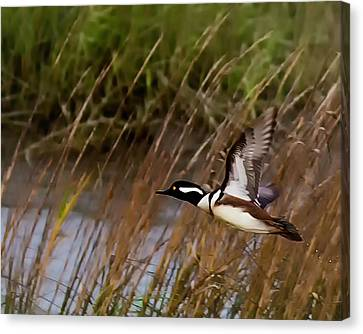 South Carolina State Bird Canvas Print - Merganser In Flight by Joe Granita