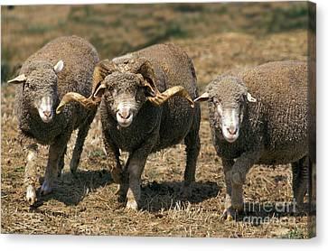 Merino Darles Sheep Canvas Print by Gerard Lacz