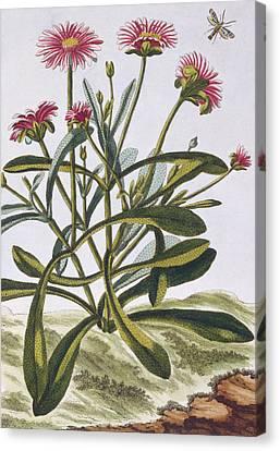 Mesembryanthemum Canvas Print by Pierre-Joseph Buchoz
