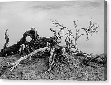 Mesquite Roots - Death Valley 2015 Canvas Print