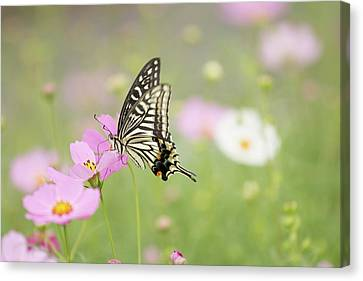 Mexican Aster With Butterfly Canvas Print by Hyuntae Kim