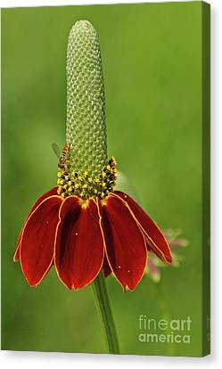 Canvas Print - Mexican Hat Prairie Coneflower by Natural Focal Point Photography