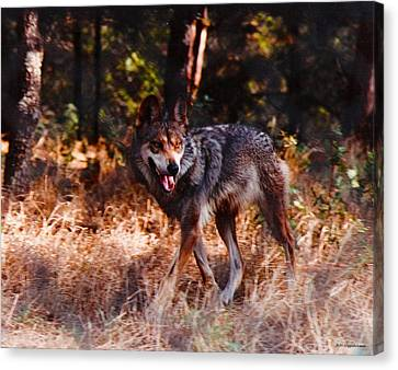 Mexican Red Wolf Canvas Print by DiDi Higginbotham