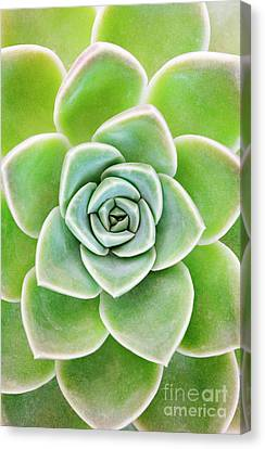 Mexican Snowball Succulent  Canvas Print by Neil Overy