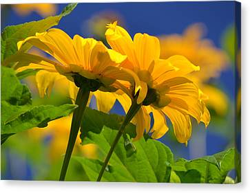 Mexican Sunflower Tree Canvas Print by Melanie Moraga