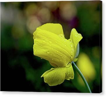 Uc Davis Canvas Print - Mexican Tulip Poppy by Alessandra RC