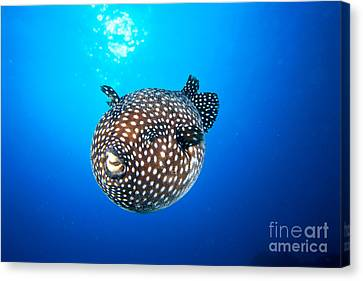 Mexico Guineafowl Puffer Canvas Print by Dave Fleetham - Printscapes