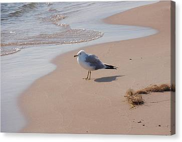 Canvas Print featuring the photograph Michigan Seagull  by Beth Akerman