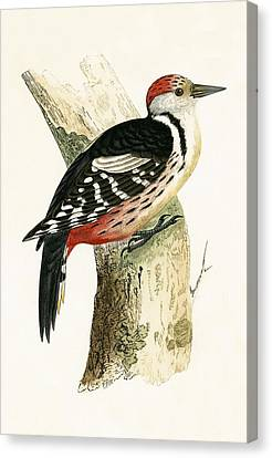 Middle Spotted Woodpecker Canvas Print by English School