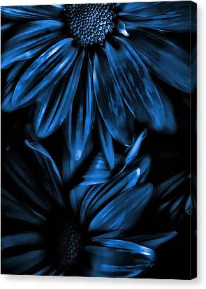 Midnight Blue Gerberas Canvas Print by Bonnie Bruno
