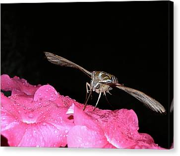Midnight Hummer Canvas Print