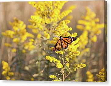 Migrating Monarch Butterfly Moses Cone Memorial Park North Carolina Canvas Print by Mark VanDyke