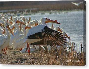Migrating Pelicans  Canvas Print by Shari Morehead