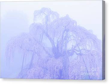 Miharu Takizakura Weeping Cherry01 Canvas Print