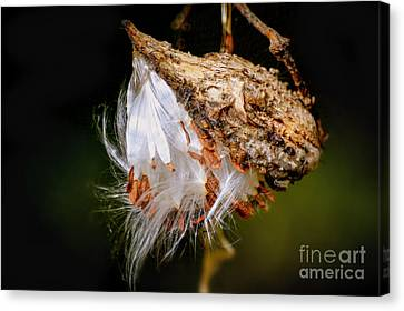 Canvas Print featuring the photograph Milkweed by Brenda Bostic