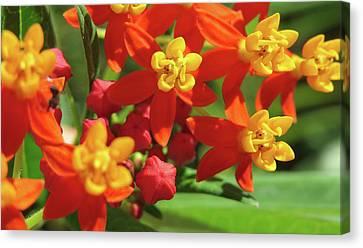 Milkweed Flowers Canvas Print