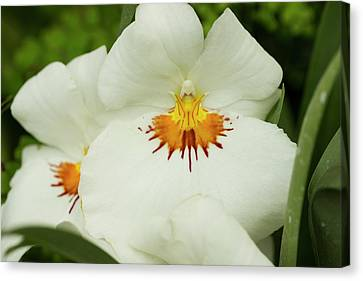 Hoggar Canvas Print - Miltoniopsis Hoggar Flower by Mark Michel