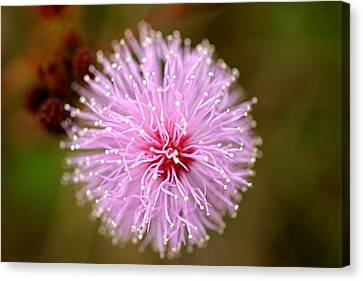 Mimosa Pudica Flower Canvas Print by Mark Mah