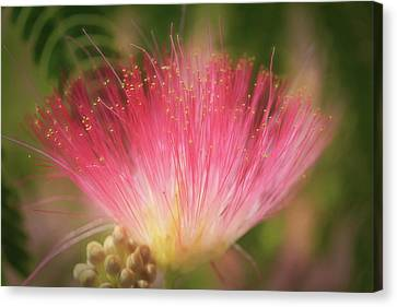 Mimosa Silk Optics Canvas Print by Donna Kennedy