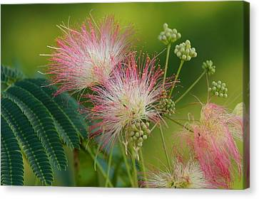 Mimosa  Up Close Canvas Print