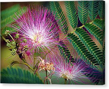 Mimosa's First Blooms Canvas Print