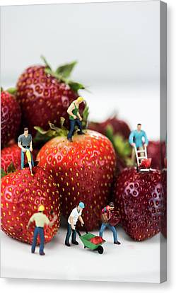 Miniature Construction Workers On Strawberries Canvas Print
