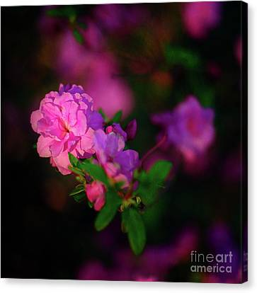 Miniature Pink Azaleas Canvas Print