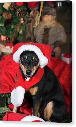 Canvas Print featuring the photograph Miniature Pinscher Wishing A Merry Christmas by Christian Lagereek