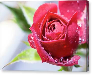 Miniature Red Rose Canvas Print by Mariola Szeliga