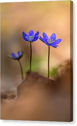 Canvas Print featuring the photograph Minimalistic Impresion With Liverworts by Jaroslaw Blaminsky