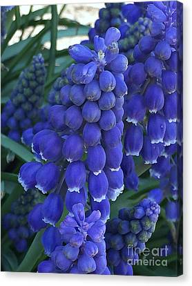 Miniture Grape Hyacinths Canvas Print