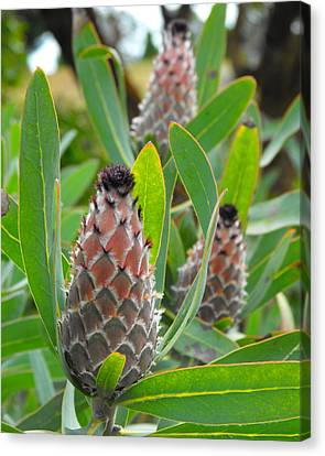 Mink Protea Flower Canvas Print by Rebecca Margraf