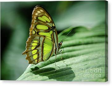 Miss Green Canvas Print