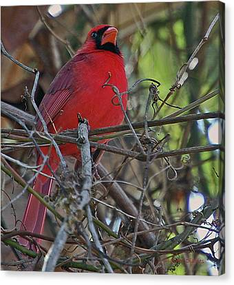 Mister Cardinal Canvas Print by DigiArt Diaries by Vicky B Fuller