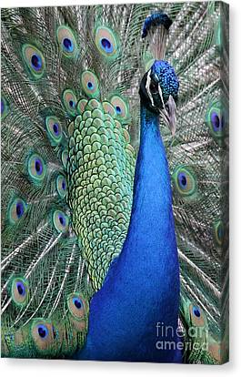 Mister Peacock Canvas Print