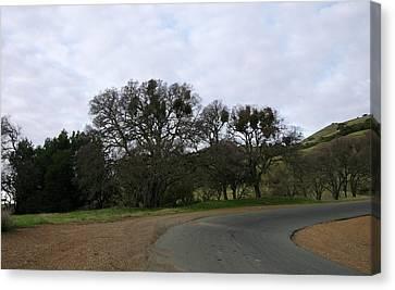 Mistletoe Oaks Canvas Print
