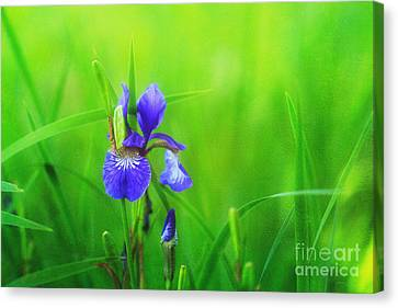 Misty Iris Canvas Print