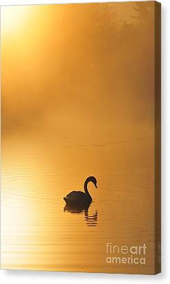Misty Morning Swim Canvas Print by Catherine Reusch Daley