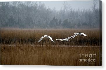Misty Mute Swans Soaring South Jersey Wetlands Canvas Print by Diana Wind