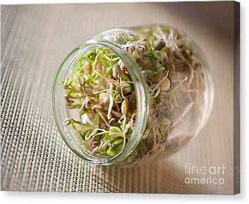 Mix Of Cereal Shoots Growing In Glass Jar  Canvas Print by Arletta Cwalina