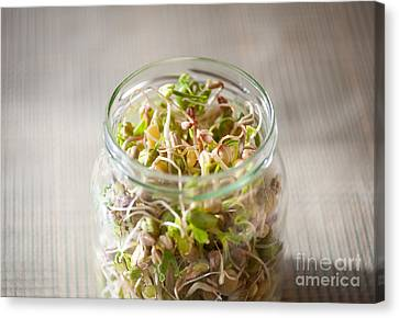 Mix Of Cereal Sprouts Growing In Glass Jar  Canvas Print by Arletta Cwalina