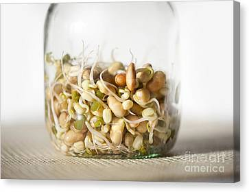 Mix Of Plants Sprouts Growing In Glass Jar Canvas Print by Arletta Cwalina