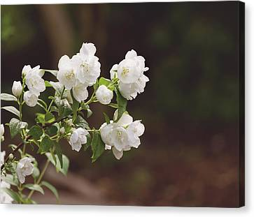 Canvas Print featuring the photograph Mock Orange Blossoms by Kim Hojnacki