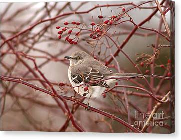 Mockingbird In Winter Rose Bush Canvas Print by Max Allen