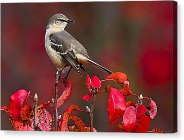 Mockingbird On Red Canvas Print