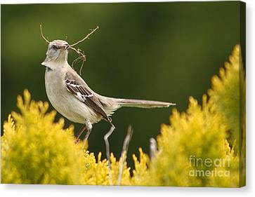 Mockingbird Perched With Nesting Material Canvas Print by Max Allen