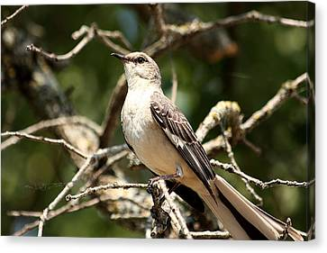 Canvas Print featuring the photograph Mockingbird  by Sheila Brown
