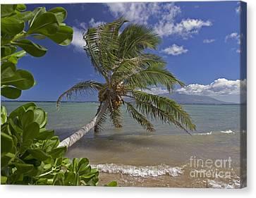 Molokai, Palm Tree Canvas Print by Dave Fleetham - Printscapes